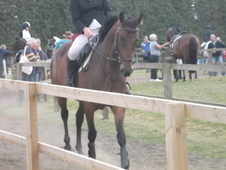Talented Grannex Mare/dutch Warmblood