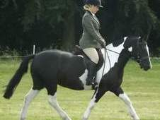 13. 2hh gelding allrounder for sale