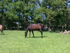 Sharer wanted for laid-back TB gelding in Sevenoaks - Kent
