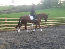 All Rounder horse - 5 yrs 16.2 hh Chestnut - Powys