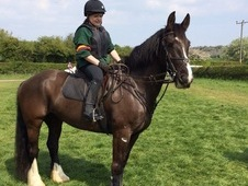 15. 2hh 7 Year Old Irish Cob Mare