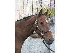 Fantastic All Round Horse 16. 3hh, 16 Year Old Bay