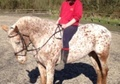 All Rounder horse - 12 yrs 16.0 hh Appaloosa - West Sussex