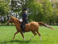 Arabs horse - 14 yrs 2 mths 15.0 hh Chestnut - Hampshire