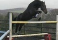 Stallions at Stud horse - 9 yrs 16.3 hh Dark Bay - Lancashire
