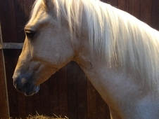 Beautiful Palomino Welsh Section D Gelding To Make 15hh+