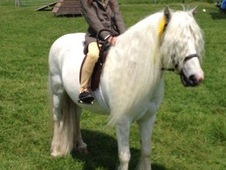 11. 2 Hh Welsh Sec A Ride, Drive Gelding Lead Rein/first Ridden