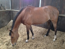 All Rounder horse - 7 yrs 16.0 hh Bay - Lancashire
