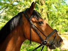 Riding Club Horses/Ponies horse - 6 yrs 5 mths 16.0 hh Bright Bay...