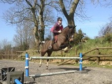 Doodles A Striking 15. 2hh Irish X Bay Gelding