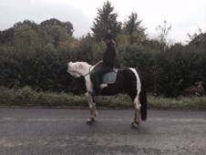Ride And Drive Family Pony For Sale