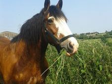For Sale 15. 2 Mare Cob 13 Years Old