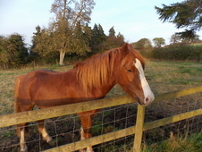3 Year Old Gelding 12. 2hh Flaxon Chestnut Section C Pony