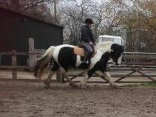 15hh Gypsy Cob For Sale Or Loan
