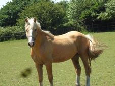 Smart palomino welsh cob section d colt/possible future stallion ...