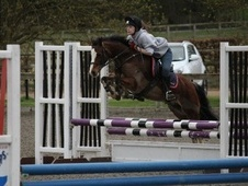 Show Jumpers horse - 13 yrs 5 mths 12.3 hh Bay - Northamptonshire