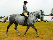 All Rounder horse - 9 yrs 16.2 hh Grey - Derbyshire