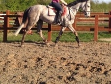 All Rounder horse - 5 yrs 10 mths 15.3 hh Grey - Cambridgeshire