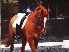 Dressage horse - 13 yrs 10 mths 16.3 hh Chestnut - West Sussex