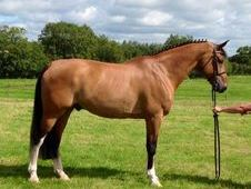 Sports horse - 14 yrs 0. 0 hh Bay - East Sussex