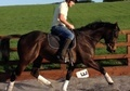 Showing horse - 5 yrs 15.2 hh Bay - West Yorkshire
