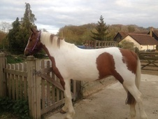 Riding Club Horses/Ponies horse - 4 yrs 141.0 hh Skewbald - Berks...