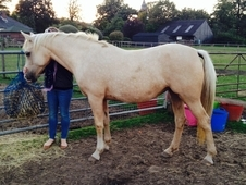 Beautiful 14. 3 palomino part bred Arab mare for sale