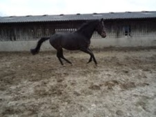 Dressage horse - 3 yrs 15.2 hh Dark Bay - Surrey
