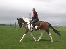 All Rounder horse - 5 yrs 16.1 hh Coloured - West Yorkshire