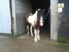 13-3hh cob mare 3 1/2 yrs, coloured
