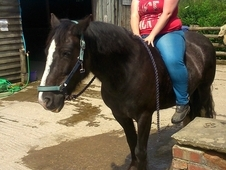 Irish Cob, All Rounder, 14. 3hh, Roan, Weight Carrier, 10 Years O...