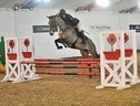 Show Jumpers horse - 7 yrs 15.3 hh Dark Bay - Lincolnshire