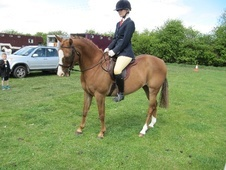 All Rounder horse - 8 yrs 5 mths 14.2 hh Chestnut - Bedfordshire
