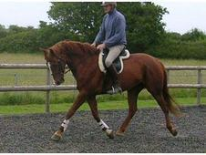 16. 3 7yold Tb X Selle Francis Chestnut Gelding Homebred