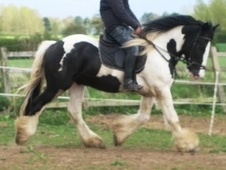 Cobs horse - 5 yrs 15.1 hh Coloured - North Yorkshire