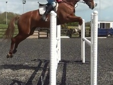 Performance Horses horse - 9 yrs 17.1 hh Chestnut - Dorset