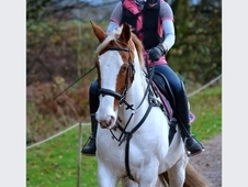 16hh Irish cob gelding riding club all rounder