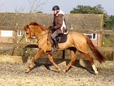 Dressage horse - 6 yrs 16.1 hh Chestnut - Kent
