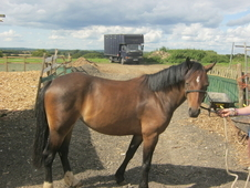 12. 2hh Approx Reg Welsh C Mare