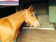 Grace, 16. 1h, Trakehner, 7 Years, Mare -cambridgeshire