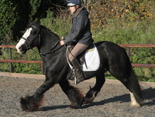 Handsome Weight Carrying 14. 3hh Irish Cob