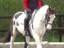 All Rounder horse - 5 yrs 15.3 hh Skewbald - Dorset