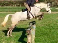 16.1 7 year old mare, perfect for show jumping/ eventing