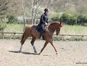 All Rounder horse - 5 yrs 16.0 hh Chestnut - Surrey