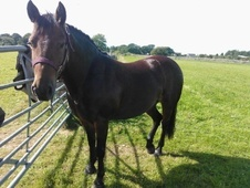 All Rounder horse - 11 yrs 1 mth 13.0 hh Bay - Gloucestershire