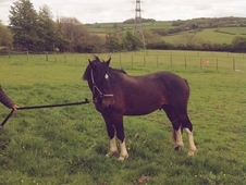 2 Year old Dales x Cob Part Bred registered