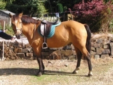 Sensible 14. 2hh New Forest