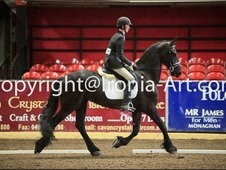 Friesian Dressage Gelding