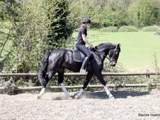 All Rounder horse - 5 yrs 15.2 hh Dark Bay - Surrey