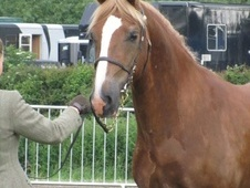 Mountain & Moorland horse - 7 yrs 5 mths 14.3 hh Liver Chestnut -...